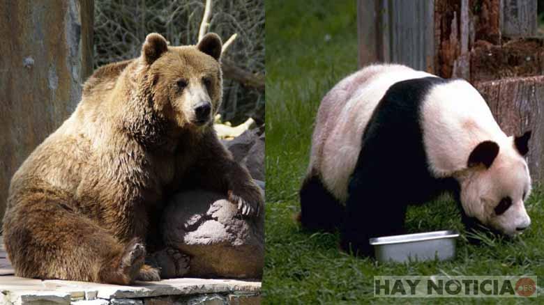 Un Zoo pinta un oso pardo de blanco y negro para atraer más público