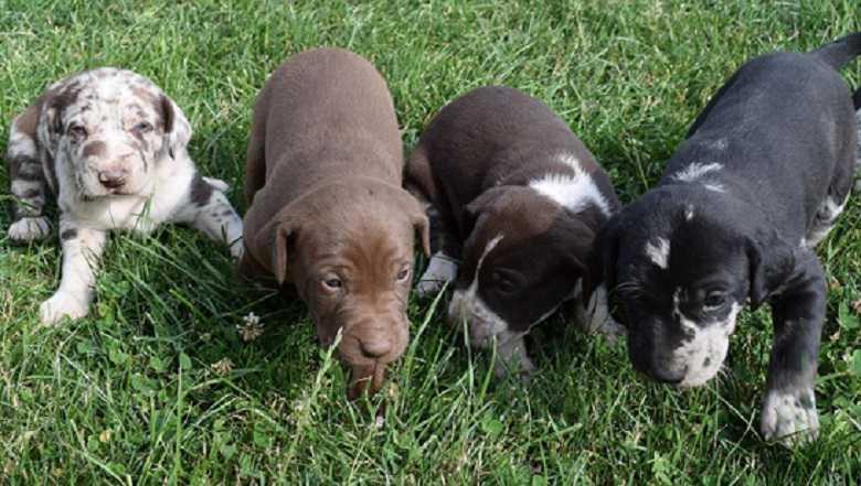 Primeros perros modificados genéticamente para que no ladren