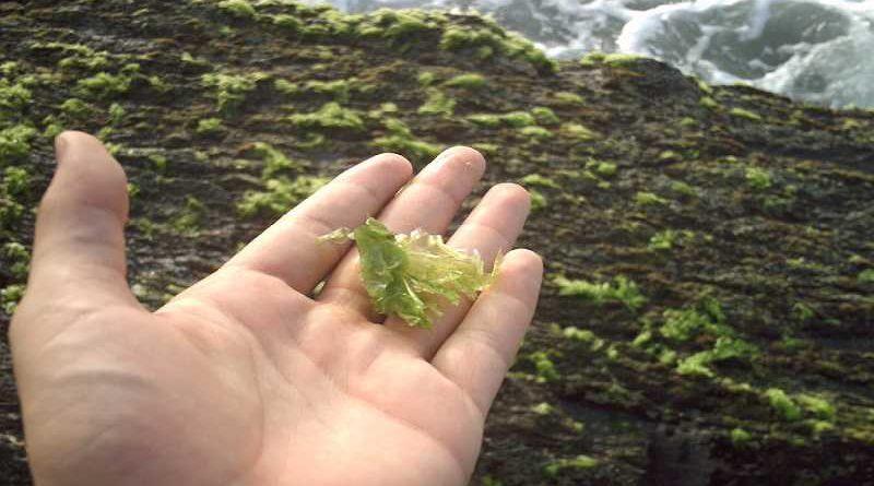 Descubren un alga con propiedades similares a la marihuana