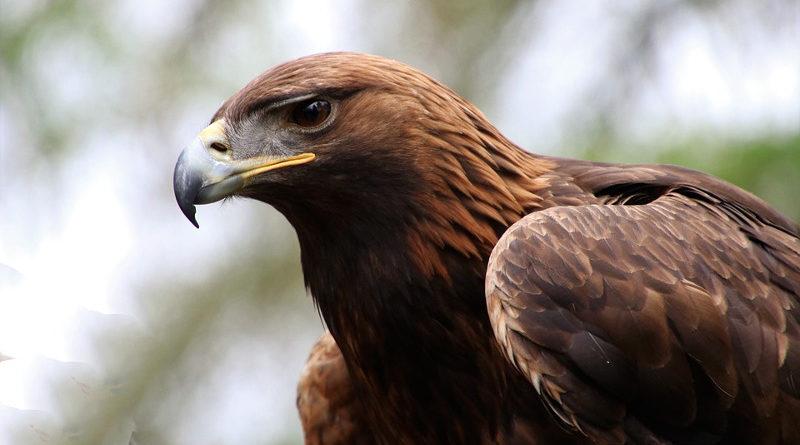 Ingresado al posársele un águila en el miembro mientras meaba