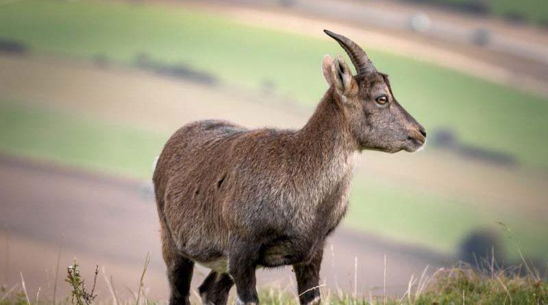 Obliga a su amigo a casarse con su cabra tras sorprenderlos en el acto