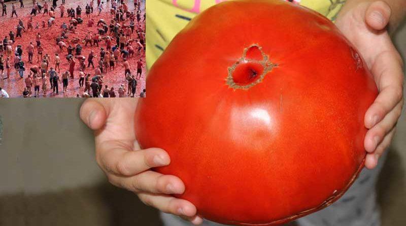 Provoca 20 heridos en La Tomatina tirando tomates gigantes