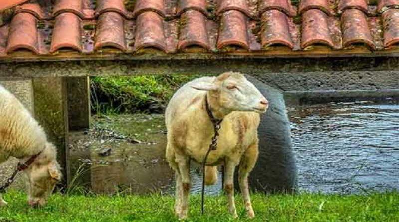 Primer caso en el mundo de oveja embarazada por un pastor