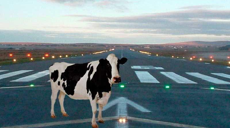 Una vaca en la pista provoca retrasos de 5 horas en el aeropuerto de Santander
