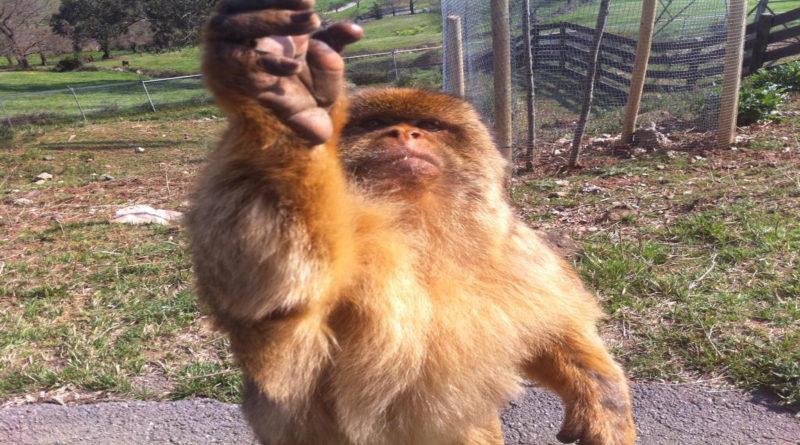 Un mono provoca 3 desmayos al meterse el dedo en el culo y dárselo a oler a una familia