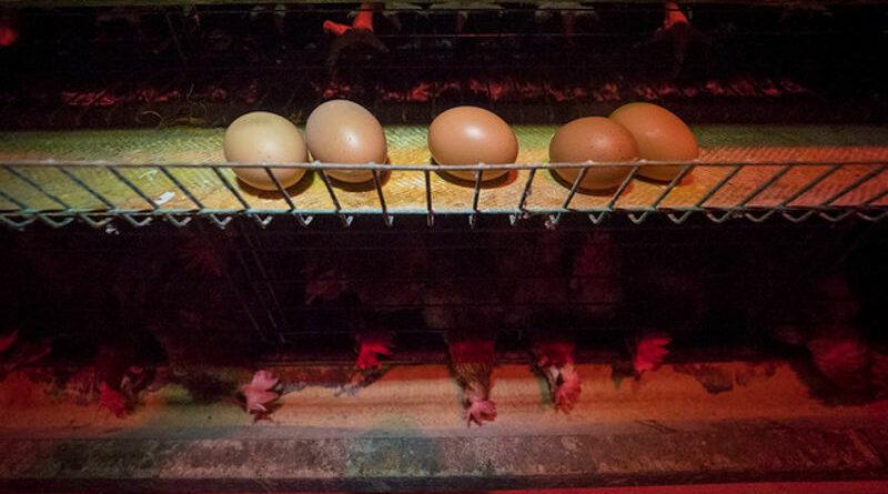 Despedido empleado pelirrojo de granja avícola al nacer todos los pollitos rojos