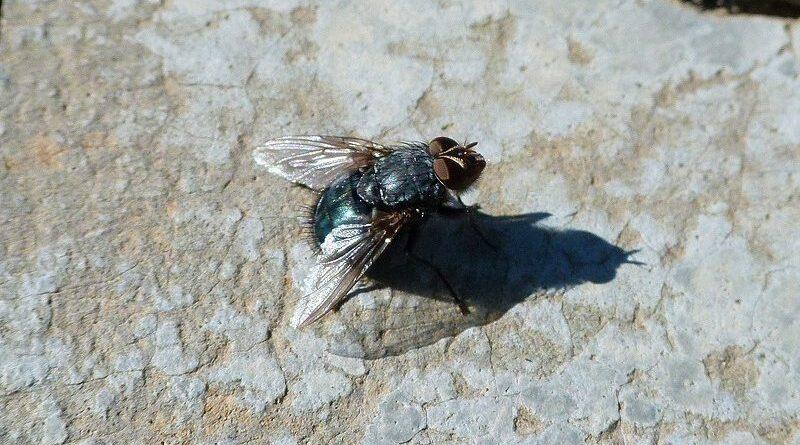 Descubren una especie de mosca cojonera con testículos de 5 cm