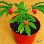 Denunciado estudiante de Biología por cruzar una planta de marihuana con fresas