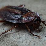 Descubren una especie de cucaracha que si la aplastas explota