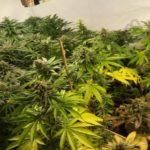 Llama a la guardia civil para preguntar cuántas plantas de marihuana es legal tener en casa